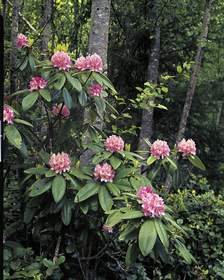 Pacific Rhododendron, Discovery Bay