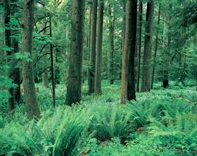 Sword Fern Forest in the Elwha