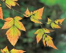 Autumn Salmonberry Leaves