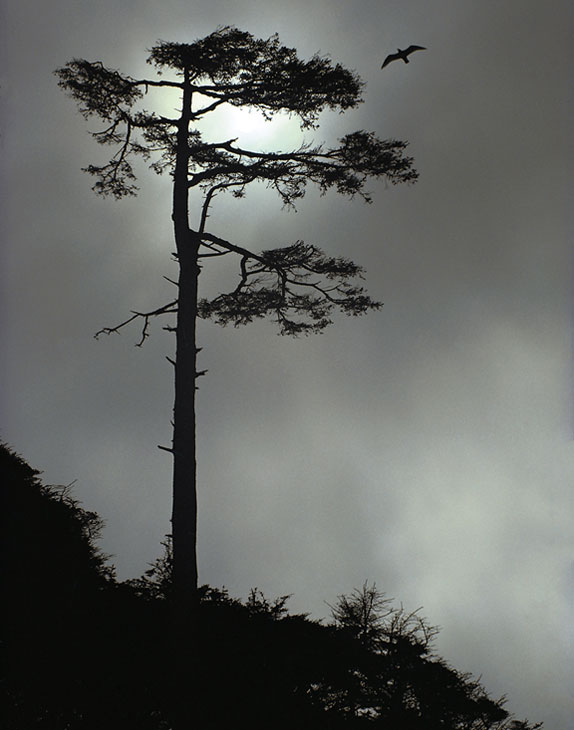 coastal sitka spruce - photo #8
